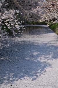 弘前公園の桜 花筏 - 遥かなる月光の旅