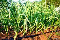 ニンニクの栽培 - bandana082の体験農園