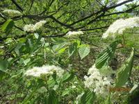 春を味わう - 宮迫の! ようこそヤマボウシの森へ
