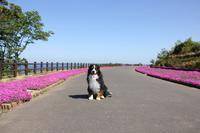 4月・お散歩♪ - Go!Go!Bernese!