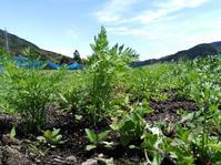 春にまいた人参の草引き♪ - キセツノオヤサイ葉屋の観察日記