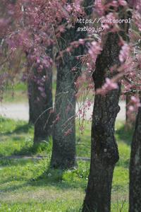 圧倒的桜。2018 - 一瞬をみつめて