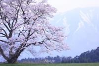 一本桜 - Aruku