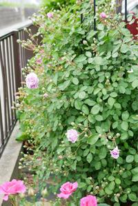 レイニーブルーの開花 - 春&ナナと庭の薔薇