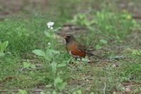 アカハラ(公園の中の里山に模した雑木林にて) - 私の鳥撮り散歩