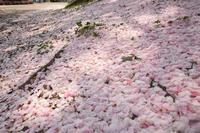 キミと過ごした町も桜咲く春だよ・2018 - ちわりくんのありふれた毎日II