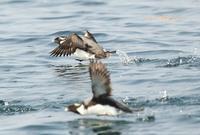 ウミスズメ - 北の野鳥たち