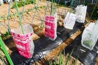苗の保護 - 畑であそぶ ~のんびり家庭菜園・畑しごと~