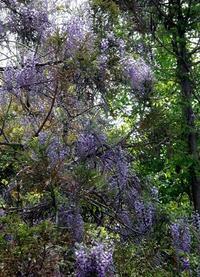 杉の木を染めているフジの花 - じょんのび