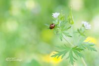 てんとう虫と小さな花 - jumhina biyori*