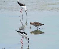 調整池ではオグロシギさん一羽が。。 - cuccooの野鳥エトセトラ