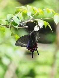 ミヤマカラスアゲハの証拠写真 - 蝶超天国