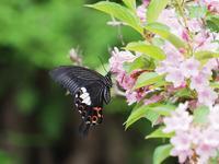 地元の里山のモンキアゲハ - 蝶超天国