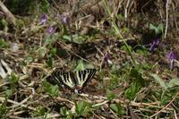 シーズン初遠征 –ギフ編- - 蝶と蜻蛉の撮影日記