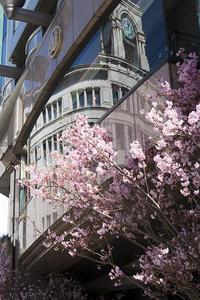 圧倒的桜。2018 -Sakura in Ginza- - jinsnap (weblog on a snap shot)