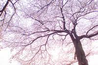 圧倒的桜。2018 -Which color do you like?- - jinsnap (weblog on a snap shot)