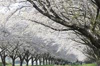 圧倒的桜。2018 -Photo frame of Sakura- - jinsnap (weblog on a snap shot)