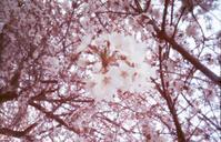 Accumulation of light & 圧倒的桜。2018 -Extra edition- - jinsnap (weblog on a snap shot)