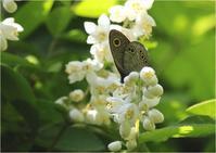 ☆ ウツギの花に来たチョウ ☆ - 気ままなフォトライフ
