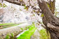 今年のさくら 〜 安春川のサクラ - なよら風