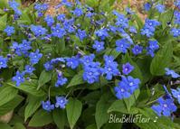 春の青い花♪ - Bleu Belle Fleur☆ブルーベルフルール