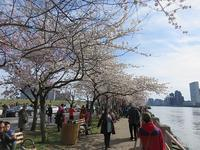 お花見Vol.2@ルーズベルト島  - NYの小さな灯り ~ヘアメイク日記~