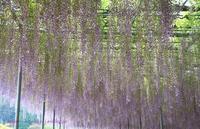 ASHIKAGA FLOWER PARK ①大長藤 - 暮らしを紡ぐ