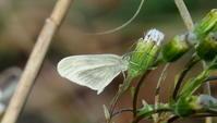 遠征 その1 - 紀州里山の蝶たち