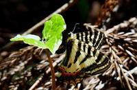 2018 遠征 その3 - 紀州里山の蝶たち