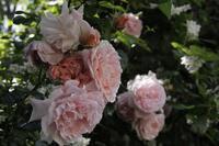 気合いを入れて薔薇の写真 - ちょっと田舎暮しCalifornia