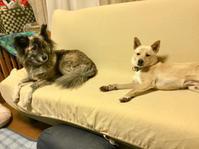 GW後半 - 琉球犬mix白トゥラーのピカ