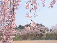 大仏公園(弘前市)の桜*2018.04.29 - 津軽ジェンヌのcafe日記