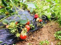 イチゴ初収穫、マルチ効果 - 週末農夫コーディーのイケてる鍬の振るい方