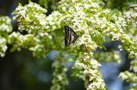 ミカドアゲハ5月1日高知市にて - 超蝶