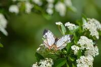イシガキチョウ5月1日高知市にて - 超蝶