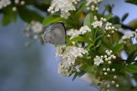 サツマシジミ5月1日高知市にて - 超蝶