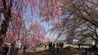 桜巡り7 日中線記念自転車歩行者道2 @福島県喜多方市 - 963-7837