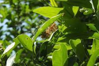 ■ジョロウグモの団居(まどい)って?18.5.3 - 舞岡公園の自然2