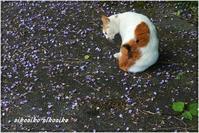 猫と山藤 - 今が一番