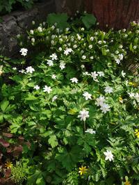 小さな段々花壇の山野草と、今咲いている山野草を少し♪ - 窓の向こうに