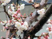 梅の花が咲き始めた - 楽しい わたしの食卓