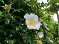 ロサ・ラエウィガータ / ナニワイバラ(難波茨) - hebdo時季(とき)の花