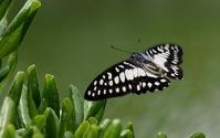 2018初夏最盛期 - 紀州里山の蝶たち