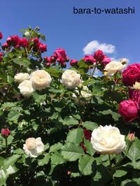 青空の下が一番 - バラと私と時々、カルトナージュ