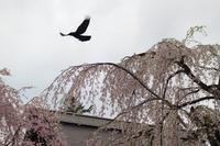 角館の夜桜!・・・2018東北一人旅シリーズ(その3) - 『私のデジタル写真眼』