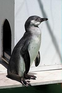 フンボルトペンギンの子ども - 動物園放浪記