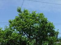 """緑一色...新緑の季節が到来 - 〔家庭菜園日記〕 """"すろーらいふ"""" 茅ケ崎のはまちゃん. 野菜つくり"""