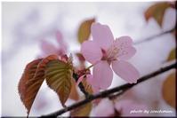 厚別神社の桜花(2) - 北海道photo一撮り旅