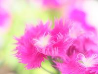 ナデシコが咲きましたムフフ! - スポック艦長のPhoto Diary