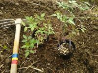 畑もしたよ!トマトの定植(南国畑) - 化学物質過敏症・風のたより2